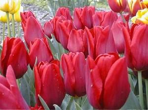 Tulip-oscar